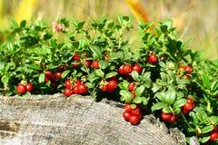 Cowberry Stock Photos