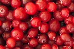 cowberry Στοκ Φωτογραφία