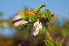 Cowberry against the sky Royalty Free Stock Photo