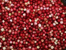 Cowberry background Royalty Free Stock Photo