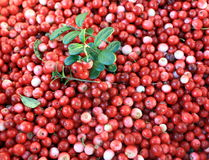 Cowberry berries Stock Photography