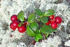 Cowberry berries Royalty Free Stock Photography