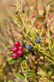 Cowberry and blueberries Stock Photography