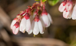 Cowberry branch close up Stock Photos
