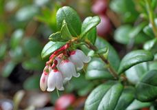 Cowberry bush with flowers Royalty Free Stock Images