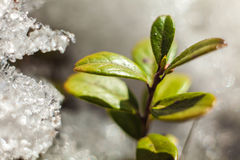 Cowberry bush  in spring  thawing snow Stock Image