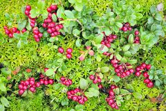 Cowberry carpet Stock Photography