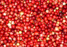 Cowberry in close up Stock Photos