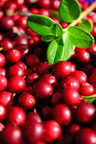 Cowberry closeup Royalty Free Stock Photography