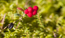 Cowberry closeup Stock Images