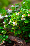 Cowberry flowering Stock Photography