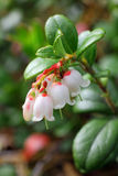 Cowberry flowers Royalty Free Stock Photography
