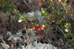 Cowberry Royalty Free Stock Image