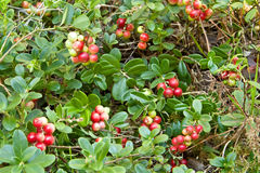 Cowberry in forest Stock Images