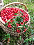 Cowberry. Fresh cowberry picked in forest Stock Photos