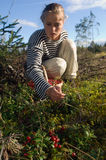 Cowberry gathering. In August in the northwest of Russia the cowberry keeps up. / Cowberry gathering Stock Photo