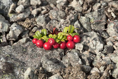 Cowberry growing on stony soil Stock Photos