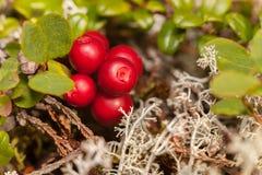cowberry IDA nium tis β βρύου vacc Στοκ φωτογραφίες με δικαίωμα ελεύθερης χρήσης
