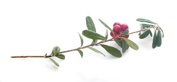 Cowberry Royalty Free Stock Photos