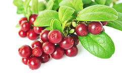 Cowberry Royalty Free Stock Photography