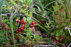 Cowberry or lingonberry Royalty Free Stock Photos