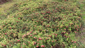 Cowberry lingonberry berry plants grow in garden plantation stock video footage