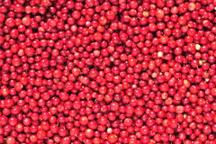 Cowberry or lingonberry (Vaccinium vitis-idaea ). Brightly red berries a cowberry in greens Royalty Free Stock Photography