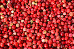 Cowberry or lingonberry - Vaccinium vitis-idaea. Red berries - Cowberry or lingonberry - Vaccinium vitis-idaea. Edible wild berries in autumn, forest fruits royalty free stock photo