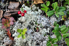 Cowberry and moss. Royalty Free Stock Photo