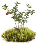 Cowberry on the moss Stock Images