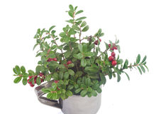 Cowberry in the mug Royalty Free Stock Image