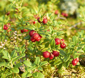 Cowberry plant Stock Images