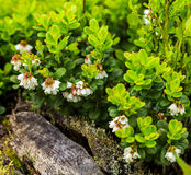Cowberry plant Royalty Free Stock Images