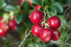 Cowberry Plant In Forest Royalty Free Stock Photo