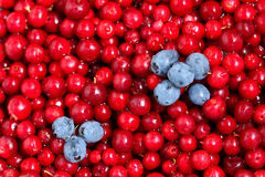 Cowberry. Royalty Free Stock Photo