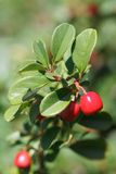 Cowberry shrub with red berries closeup vertical Stock Photo