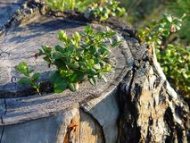 Cowberry shrub on tree stump. A cowberry (or lingonberry) shrub growing on a tree stump royalty free stock photography