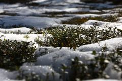 Cowberry shrubs and snow. Stock Photography