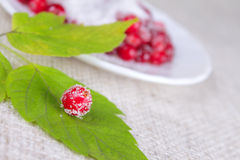 Cowberry sprinkled with sugar on green sheet. Against a white plate removed close up Royalty Free Stock Image