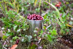 Cowberry in steel cup in a forest Stock Photos