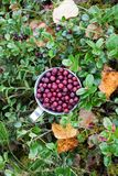 Cowberry in steel cup in a forest in autumn Royalty Free Stock Image