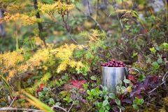 Cowberry in steel cup in a forest under larch tree Stock Images