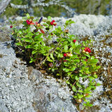 Cowberry on a stone covered with lichen Royalty Free Stock Photos