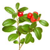 Cowberry (Vaccinium vitis idaea) plant. Isolated on white background Stock Photo