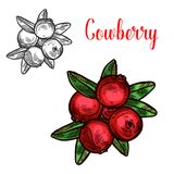 Cowberry vector sketch fruit berry icon. Cowberry berry color sketch icon. Vector botanical design of cowberries or lingonberry and partridgeberry fruits bunch vector illustration