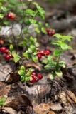 Cowberry Stock Photo