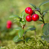 Cowberry in wood. Cowberry berries in wood among a moss Royalty Free Stock Photo