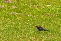 Cowbird с червем стоковая фотография