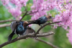 Cowbird. A brown-headed cowbird in a pink redbud tree ignores another open winged genuflectng bird royalty free stock photography