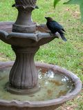 Cowbird on birdbath. Bird on birdbath Stock Image